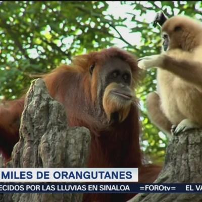 Extra, Extra: Cultivo de palma mata miles de orangutanes