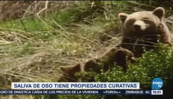 Extra Extra: Saliva de oso tiene propiedades curativas