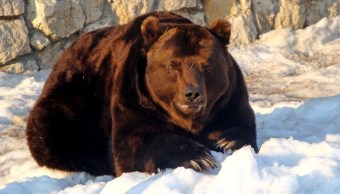 imagen-ilustrativa-gobernador-ejecuta-oso-hibernacion-llueven-criticas