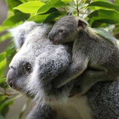 Koalas podrían extinguirse en 2050