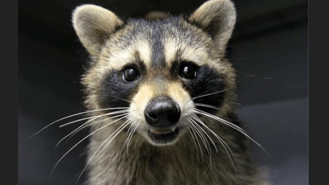 Nuevo caso de rabia en animales genera alarma en Miami-Dade
