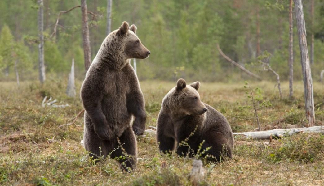 Científicos hallaron un antibiótico potente en la saliva del oso pardo de Siberia oriental.