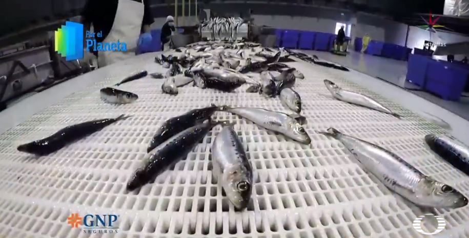 Pesca indiscriminada de sardina altera ecosistema