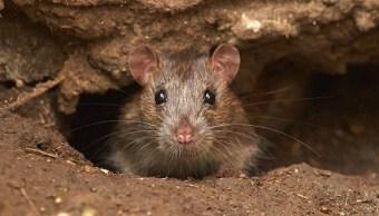 Hong Kong reporta el primer contagio en humanos de hepatitis de rata en el mundo