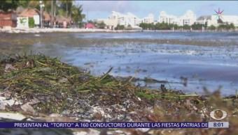 Sargazo podría convertirse en desastre ecológico para playas