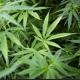 Tailandia: Marihuana incautada será convertida en medicinas