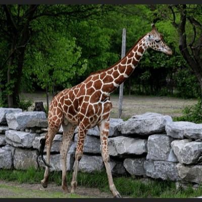 Una jirafa aplasta a una mujer y a su hijo en Sudáfrica; están graves