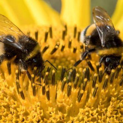 México alberga dos mil especies de abejas; la más valiosa del mundo