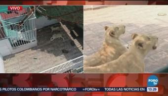 Alertan de presencia de tres leones en vivienda de la CDMX