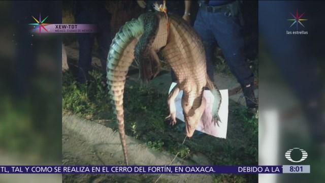 Ataques de cocodrilos en México, por invasión de su hábitat