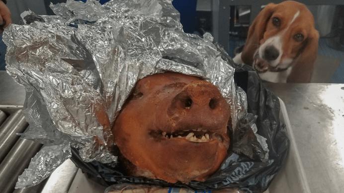 Cabeza-cerdo-Aeropuerto-Estados-Unidos-Aduana-Aduanas-Perro-policía-Perros-K9-dog-Beagle