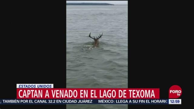 Captan a enorme venado cuando nadaba en un lago