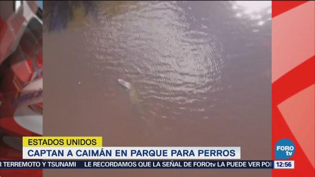 Captan a un caimán nadando en un parque para perros