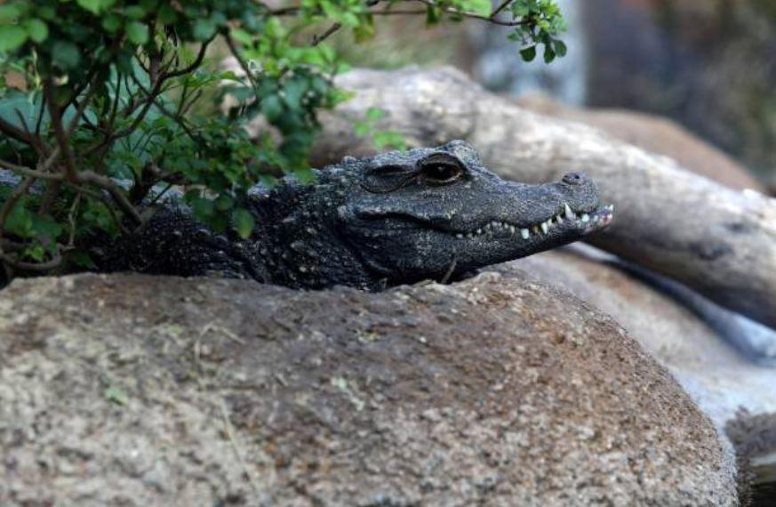 avistamiento cocodrilos puerto vallarta debe invasion habitat