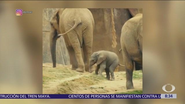 Elefantes bebés dan primeros pasos en zoológico de San Diego