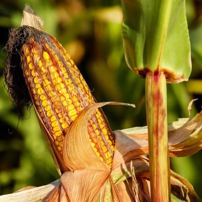 Greenpeace presenta propuestas a AMLO para proteger el maíz nativo