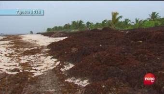 Emergencia Quintana Roo Infesta Sargazo