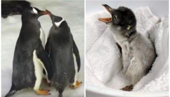 Pareja Pingüinos Mismo Sexo Nace Hijo