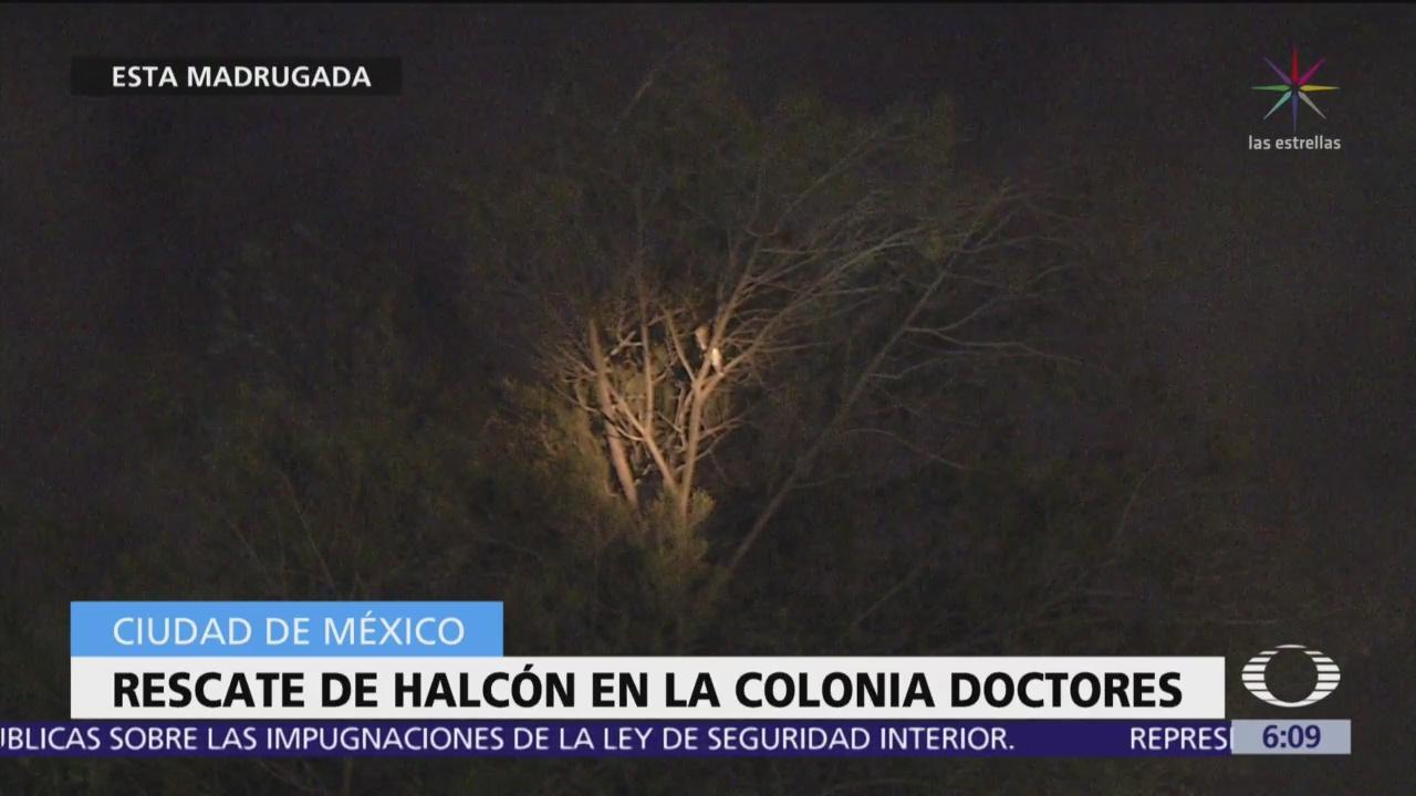 Intentan rescatar a halcón en la colonia Doctores se escapa