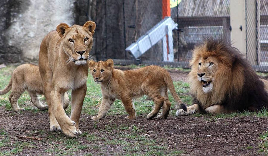 Leona mata al papá de sus cachorros y causa conmoción en zoológico