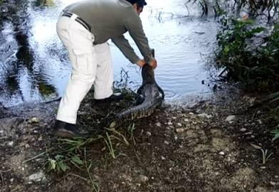 Liberan tortuga blanca rehabilitada y cocodrilo en Campeche