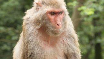 Monos Apedrean A Hombre, Hombre Apedreado Por Monos, Monos Matan A Hombre, India, Macacos, Macaco Rhesus