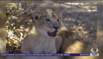 Nacen los primeros leones concebidos por inseminación
