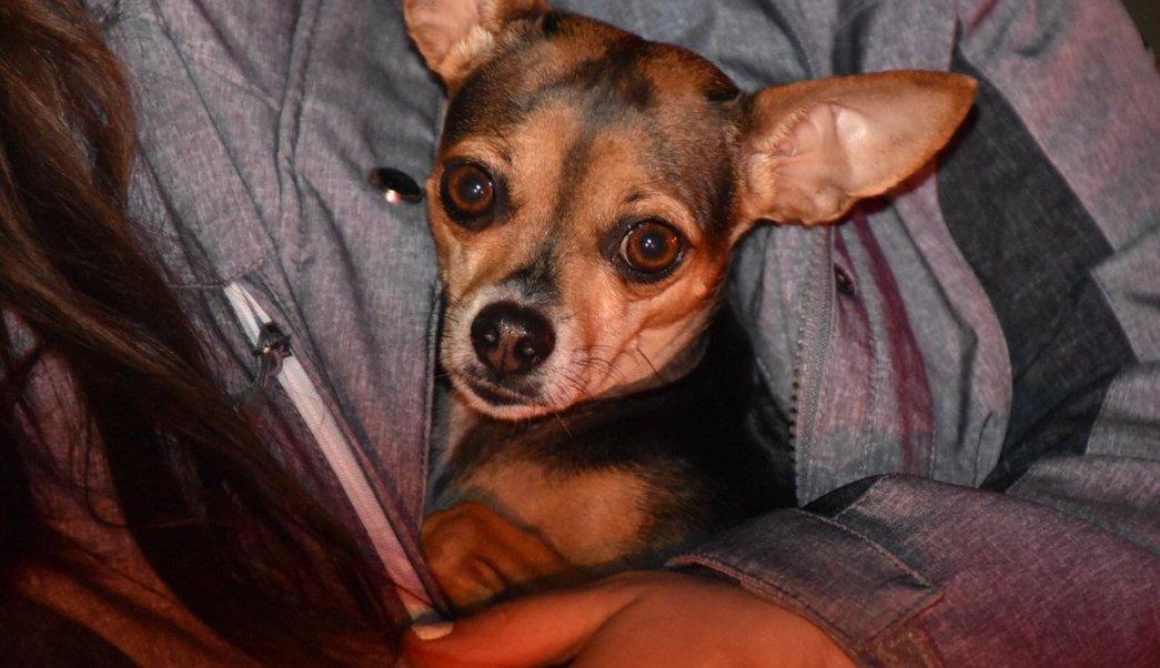 Perrita Chihuahua salva a su dueña de morir en un incendio