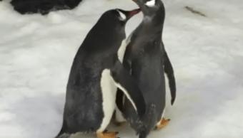 Pingüinos Pareja Mismo Sexo Acuario Video