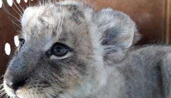 Profepa asegura un león africano en el Aeropuerto de Tijuana