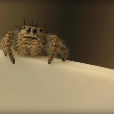 ¿Arañas 'adultas' beben leche de sus madres?