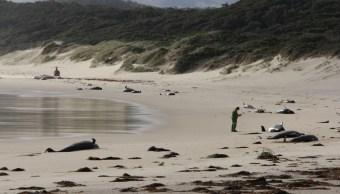 Mueren 28 ballenas tras quedarse varadas en el sur de Australia
