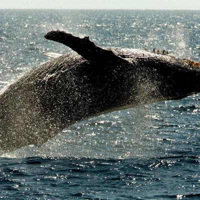Lo que los tapones de cera de las ballenas revelan sobre los efectos del cambio climático