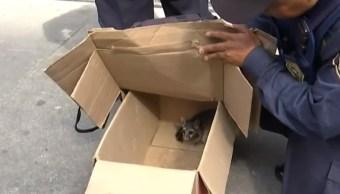 Cacomixtle es hallado en calles del Centro de la CDMX