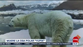 Extra, Extra: Muere la osa polar 'Yupik'