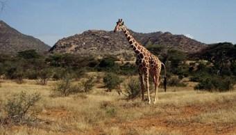 Kenia lanza plan de protección de jirafas