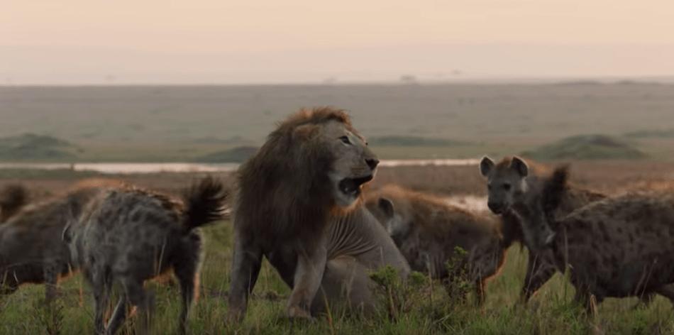 Video: León agradece ayuda compañero ataque 20 hienas