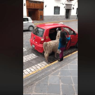 VIDEO: Llama asombra al abordar un taxi acompañada de su dueña