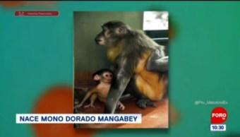 #LoQueVimosEnLaRed: Nace mono dorado mangabey