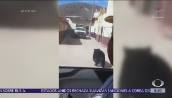 Oso pide 'aventón' y convive entre mineros de Coahuila