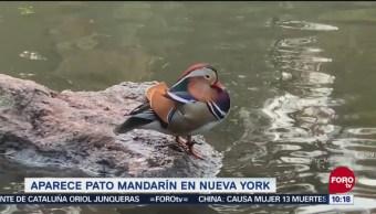 Pato mandarín captura atención de visitantes en Central Park de Nueva York