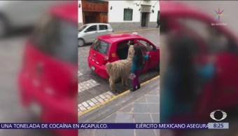 Una llama se sube a taxi en Perú
