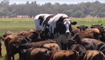 Video Descomunal Vaca Gigante Sorprende Mundo