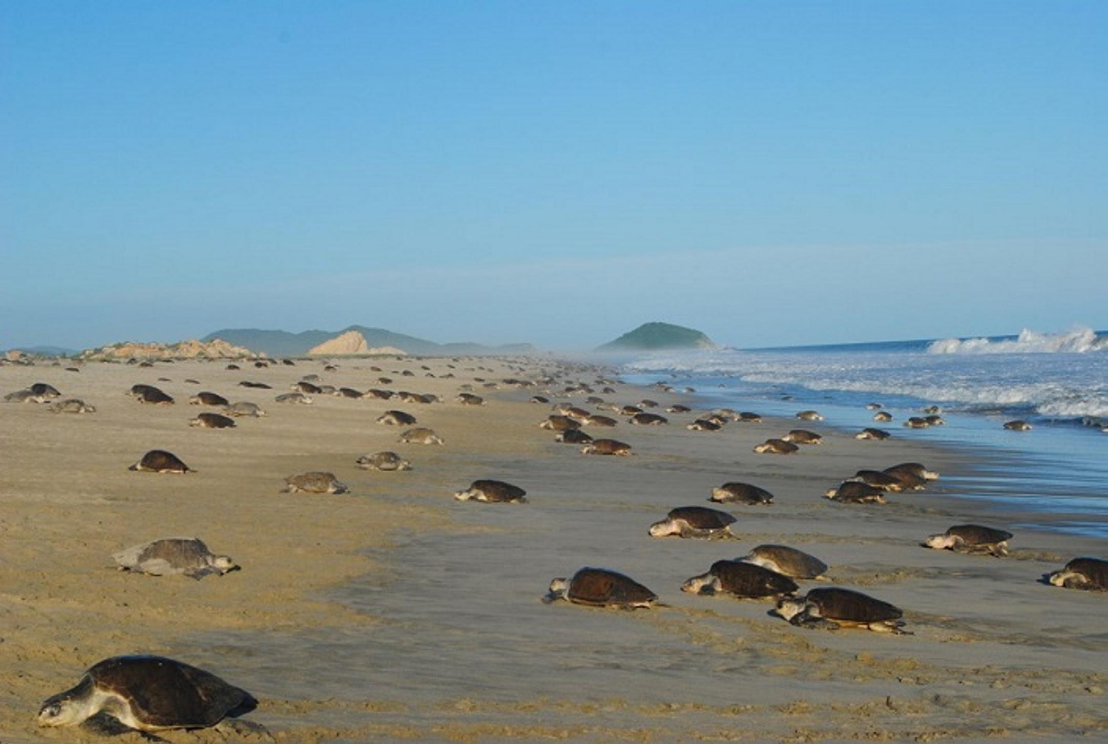 Miles de tortugas desovan en playa La Escobilla, Oaxaca – Noticieros  Televisa