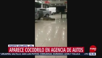 Aparece Cocodrilo Agencia Autos Puerto Vallarta