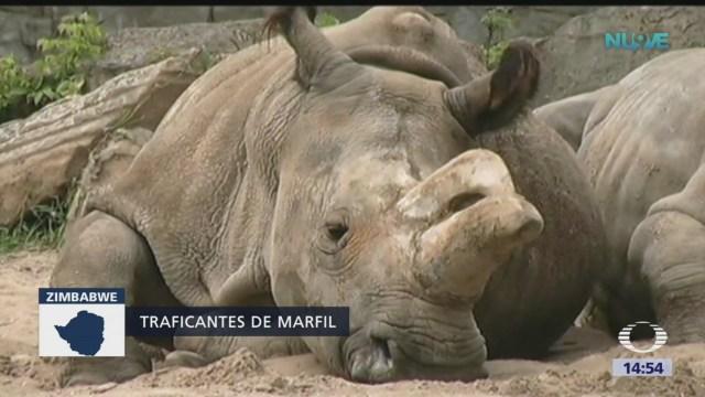 Arrestan en Zimbabue a chinos que tenían en su poder cuernos de rinocerontes