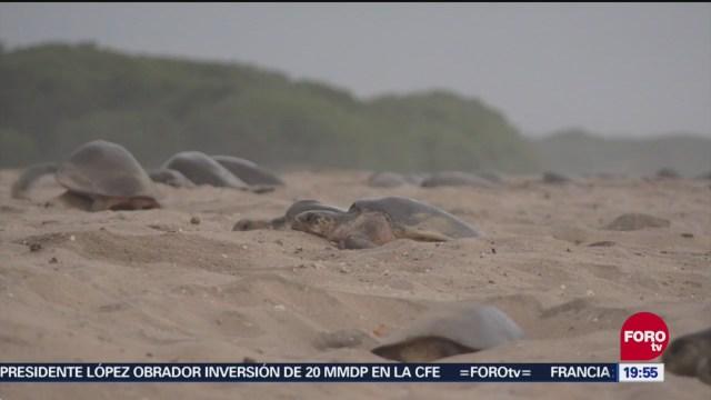 Arribo de tortugas golfinas en La Escobilla, Oaxaca