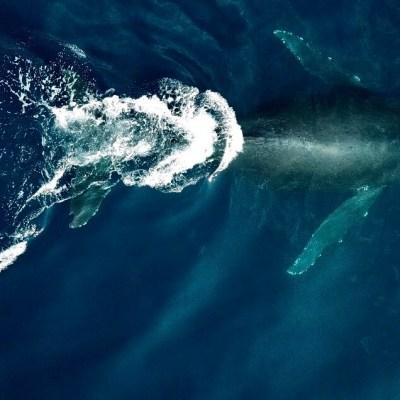Llegan las primeras ballenas jorobadas a costas de Colima