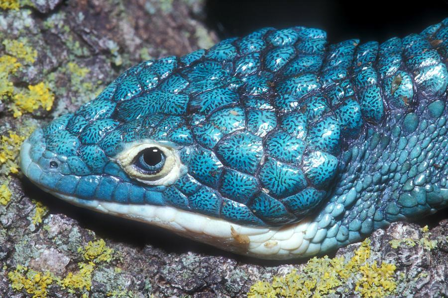 dragoncito-azul-verde-especie-mexicana-peligro