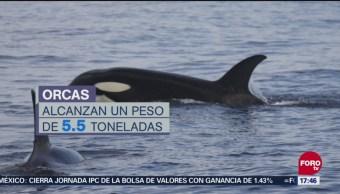 Familia de orcas llega a costas de Colima
